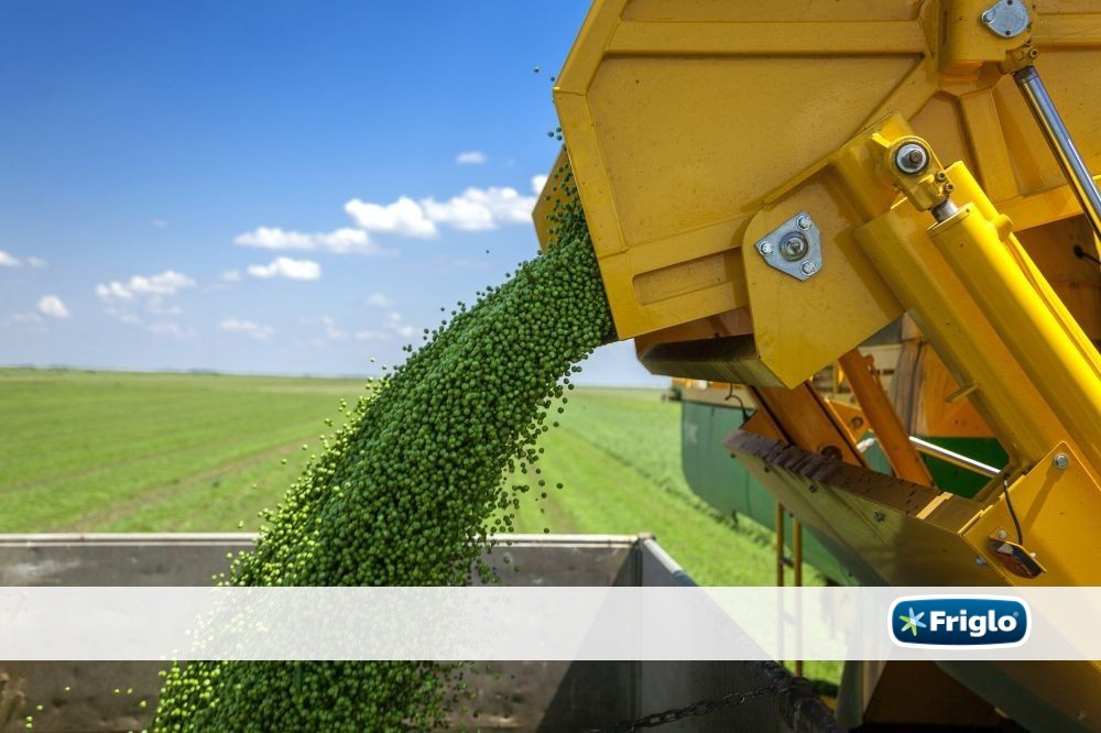 The second peas harvesting season brings to your tables the best from the Pannonian fields